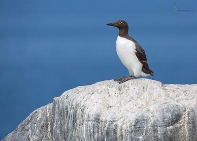Common MurreMachias Seal Island