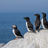 "<center><font face=""Century Gothic"" size=""+1"" color=""#FFFFFF"">Razorbills and Atlantic Puffin</font></center><font face=""Century Gothic"" size=""+1"" color=""#3366FF""><center><font color=""#377915"">Machias Seal Island</font></center></font>"