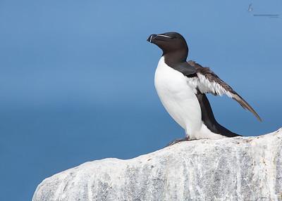 RazorbillMachias Seal Island