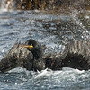 Shag bathing; 340mm 1/3200 ISO 1100 f/6.3