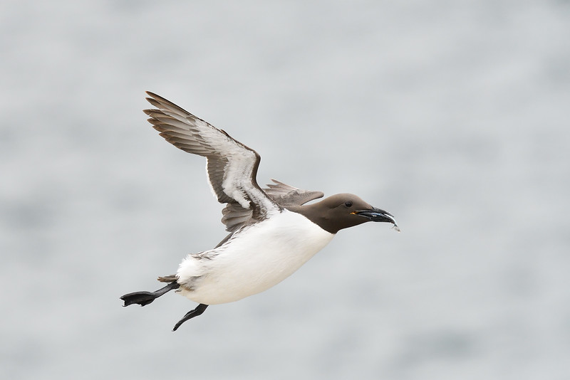Guillemot in flight; 420mm 1/4000 f/5.6 ISO 2000