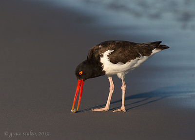 Oystercatcher feeding