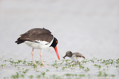 Oystercatcher Chick and Parent