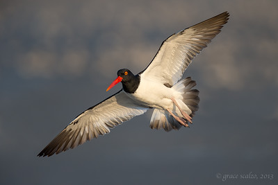Oystercatcher Flight