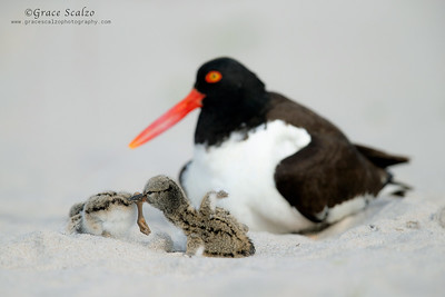 American Oystercatcher - Sibling Rivalry