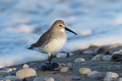 Winter Dunlin