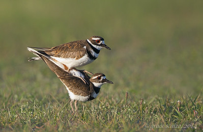 Killdeer Mating
