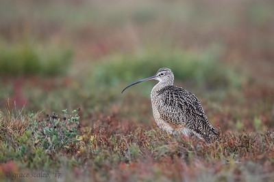 Long-billed curlew in field habitat