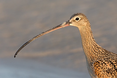 Long-billed Curlew Portrait