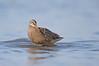 Marbled godwit bathing_O8U6022-Edit