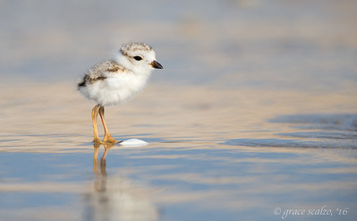 Piping Plover, Chick and Shell