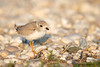 Piping Plover Fledgling on Rock