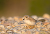 Piping Plover Fledgling Resting