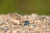 Piping Plover Fledgling Foraging