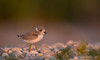 Piping Plover in Fading Pink Light