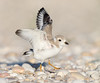 Piping Plover Fledgling
