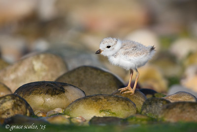 Piping Plover on Rock