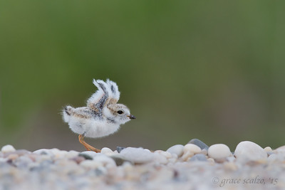 Piping Plover Chick, Wings up