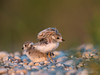 Piping Plover Fledglings after Nap