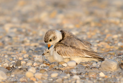 Piping Plover, Parent and Brooding Chick