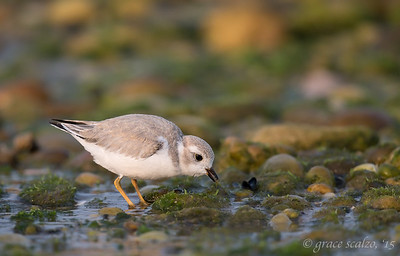 Piping Plover Juvenile Foraging