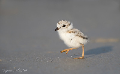 Piping Plover Chick, Stepping out