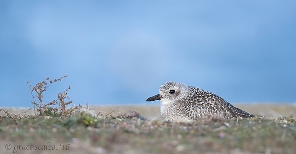 Black-bellied Plover (Non-breeding plumage)