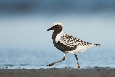Black-bellied Plover Striding
