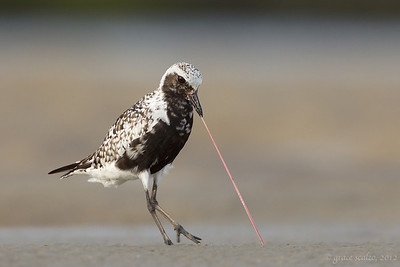 Black-bellied Plover and Worm