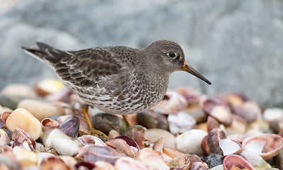 Purple Sandpiper foraging amoung Slipper shells