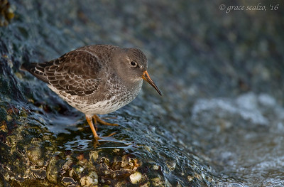 Purple Sandpiper in Habitat