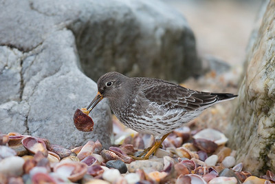 Purple Sandpiper with Slipper Shell
