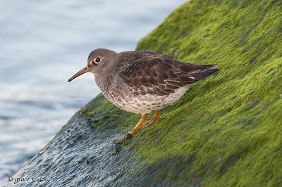 Purple Sandpiper on a slippery slope