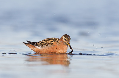 Red Phalarope and Morsel