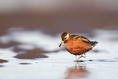 Red Phalarope Foraging