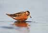 RedPhalarope with morsel_L1G3730-Edit