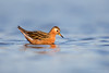 Red phalarope_L1G3838