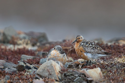 Red Knot Couple on Breeding Ground