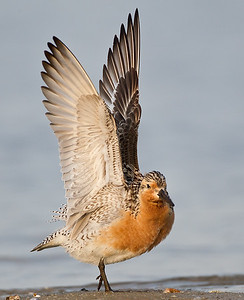 Red Knot Wing Stretch