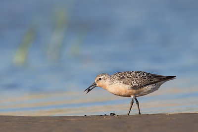 Red Knot with Mussel
