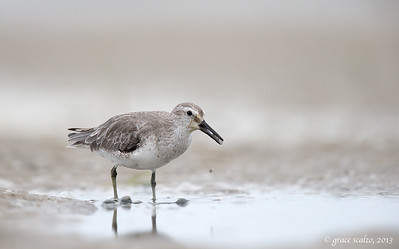 Red Knot with Horse Shoe Crab Eggs