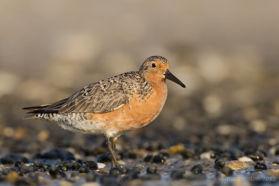 Red Knot in Mussel Bed