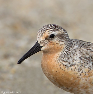 Red Knot Portrait