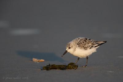 Sandlerling, Non-breeding plumage