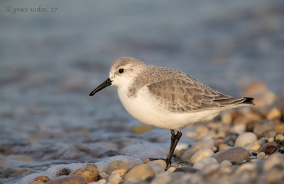 Sanderling (non-breeding plumage)