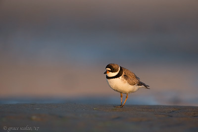 Sunset Semipalmated Plover