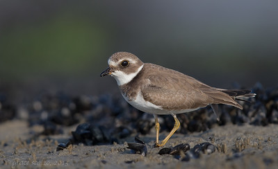 Semipalmated Plover in Mussel Bed