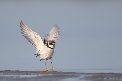 Semiplamated Plover Leaping