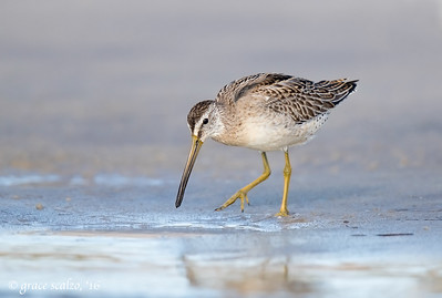 Short-billed Dowitcher Foraging