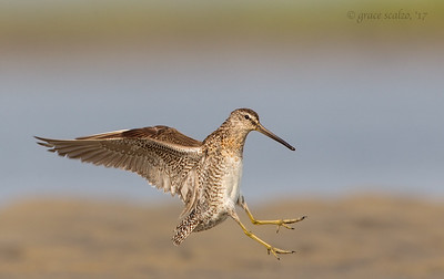 Short-billed dowitcher landing